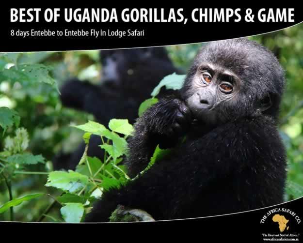 Best of Uganda Gorillas, Chimpanzees & Game