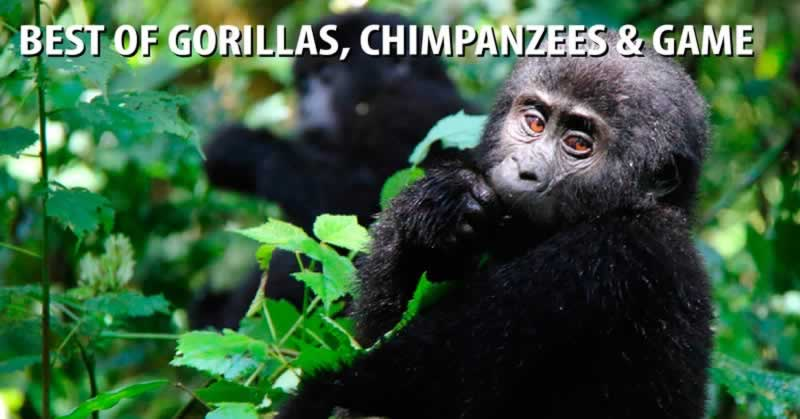 Best of Uganda Gorillas, Chimpanzees & Game