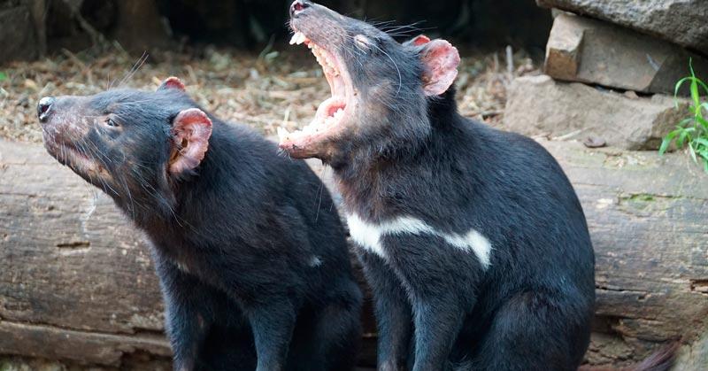 Tasmanian Devil Encounter