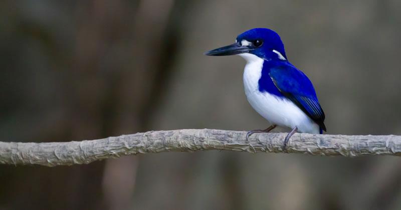Far North Queensland Bird Safari