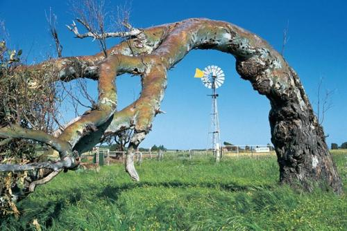 Leaning tree and windmill, near Greenough<br>Credit: Tourism Western Australia