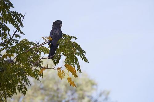 A Black Cockatoo in Kinchega National Park.<br>Credit: Destination NSW