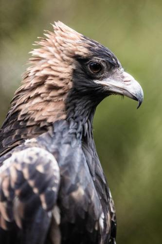 Wedge-tailed eagle<br>Credit: Tourism Western Australia