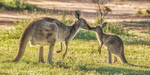 Kangaroo with joey in Mungo National Park.<br>Credit: Destination NSW