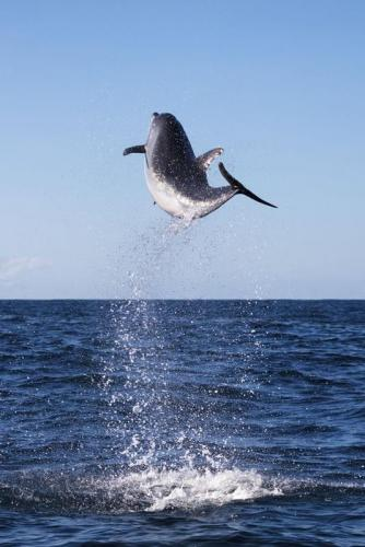 Dolphin leaping into the air in Jervis Bay.<br>Credit: Jordan Robins