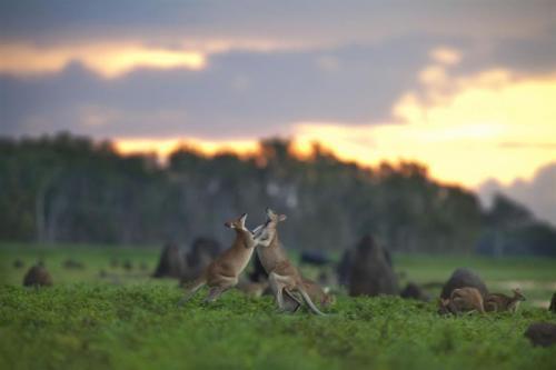 Agile Wallabies<br>Photo: Richard Field