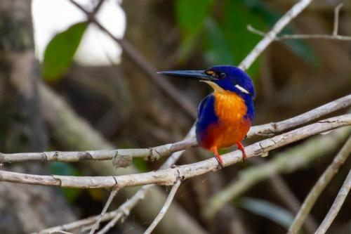 Azure Kingfisher:<br>Credit: Steve Potter