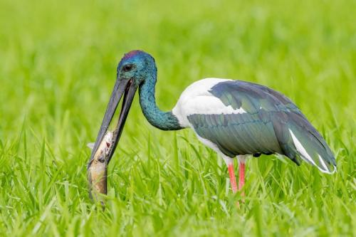 Black-necked Stork - Credit: Luke Paterson