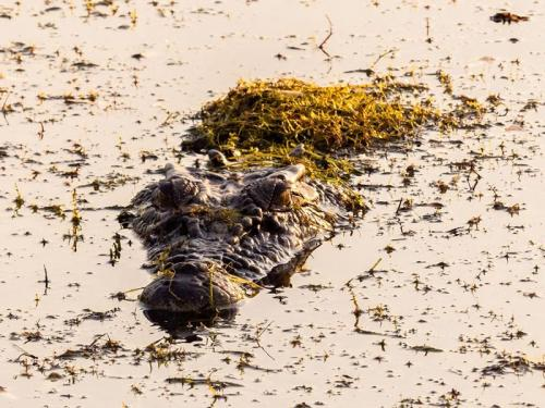 Crocodile swimming in Kakadu Image Credit: Tourism NT/Jewels Lynch