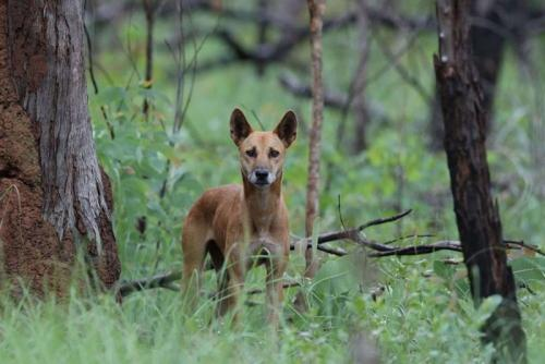 Dingo<br>Credit: Luke Paterson, NT Bird Specialists