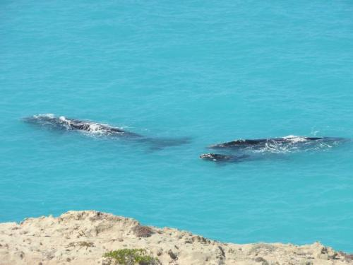 Head of Bight whales
