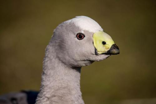 Maria Is - Cape Barren Goose