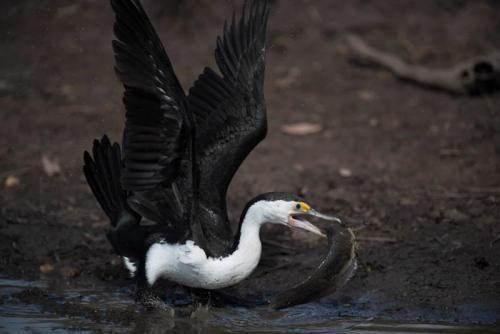 Pied Cormorant<br>Credit: Luke Paterson, NT Bird Specialists
