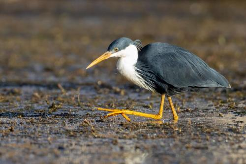 Pied Heron<br>Credit: Luke Paterson, NT Bird Specialists