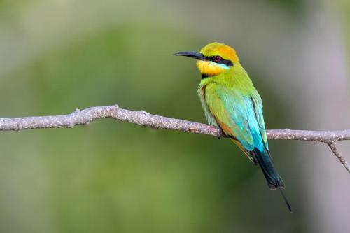 Rainbow Bee-eater - Credit: Luke Paterson