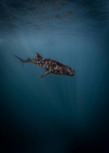 SS-Ningaloo Reef-Ocean-Whale-Shark-Chris-Fynes