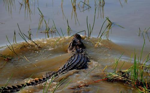 Saltwater Crocodile<br>Photo: Emma Pritchett