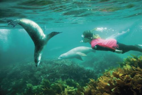 Sea Lion Dive