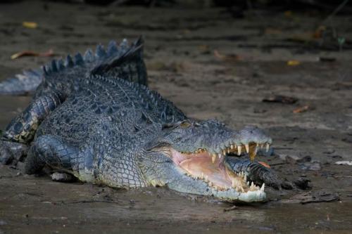 Salterwater Croc